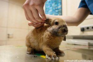 Golpe de calor en conejos, chinchillas y cobayas. Consejos.